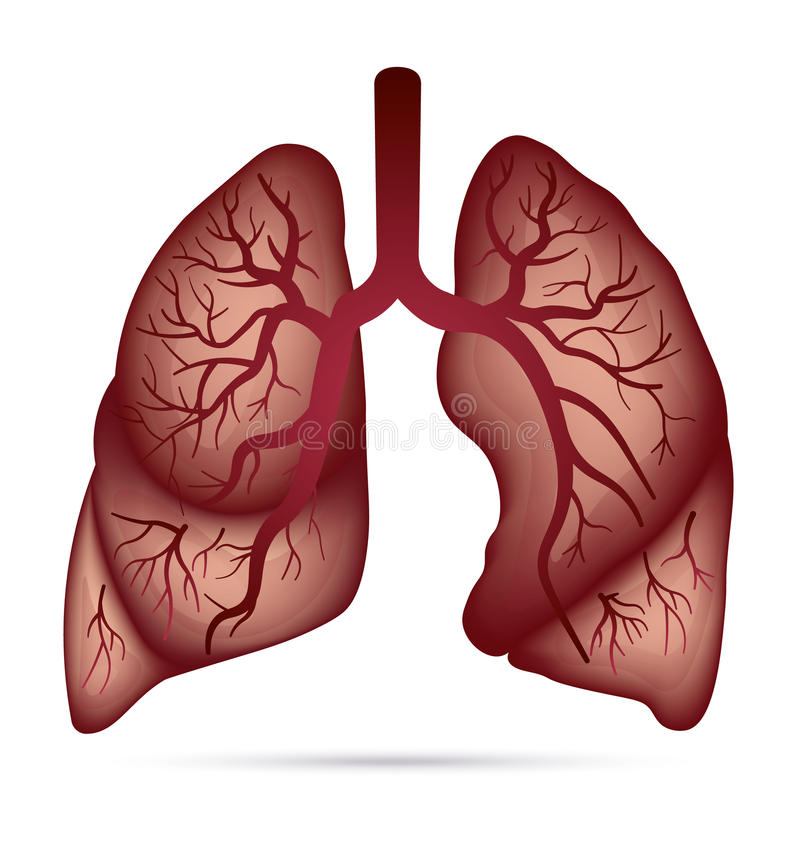 Human lungs anatomy for asthma, tuberculosis, pneumonia. Lung ca. Ncer diagram in detail illustration. Breathing or respiratory system. Vector vector illustration