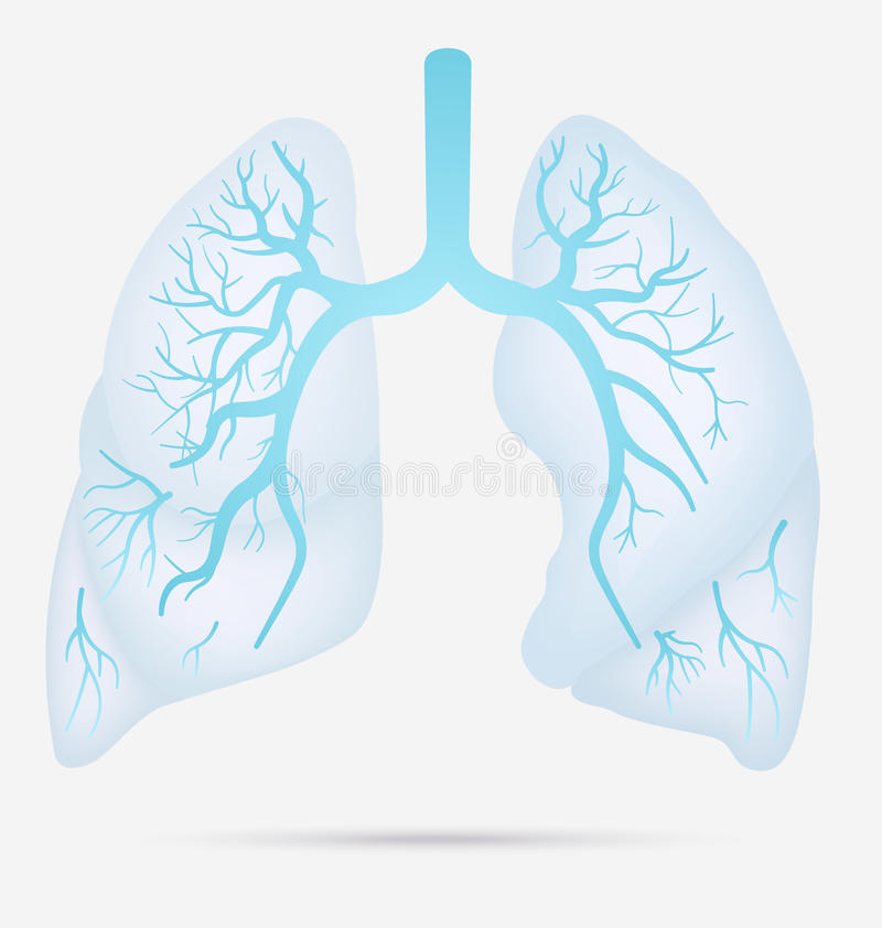Human lungs anatomy for asthma, tuberculosis, pneumonia. Lung ca. Ncer diagram in detail illustration. Breathing or respiratory system. Vector stock illustration