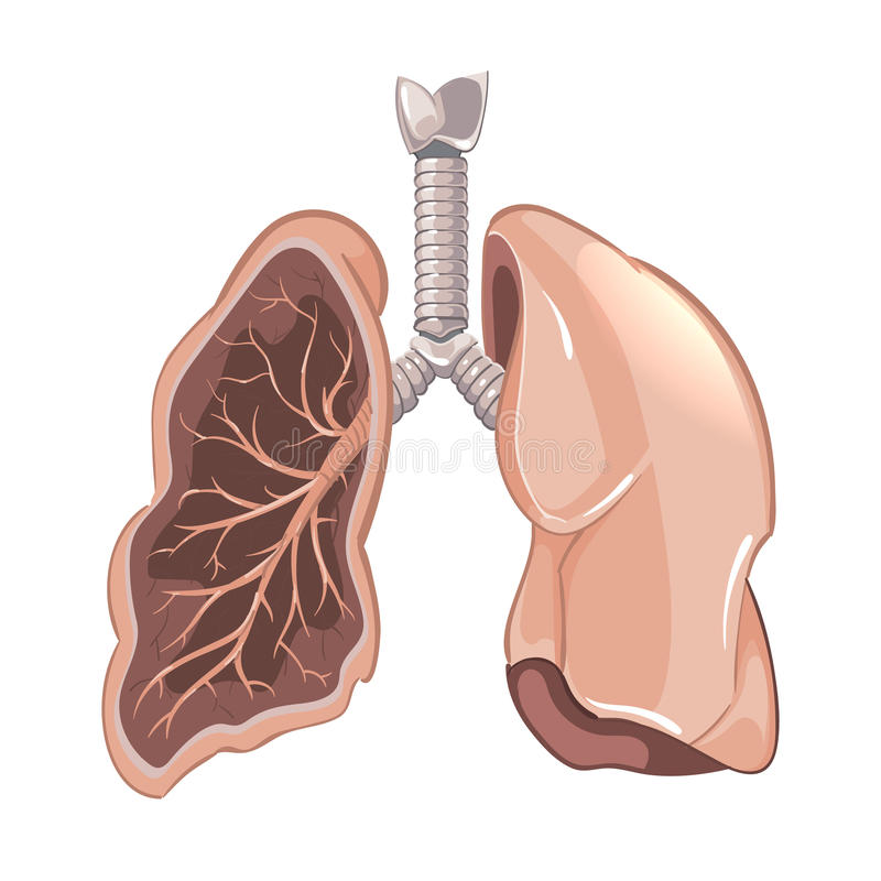 Human Lungs Anatomy, Cancer Vector Diagram Stock Vector ...