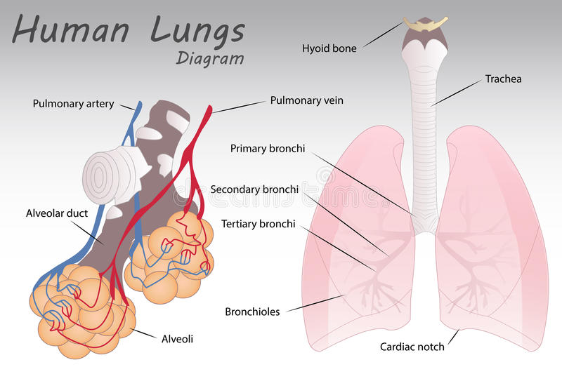 Human Lungs Diagram. Illustration of a Human Lungs Diagram stock illustration