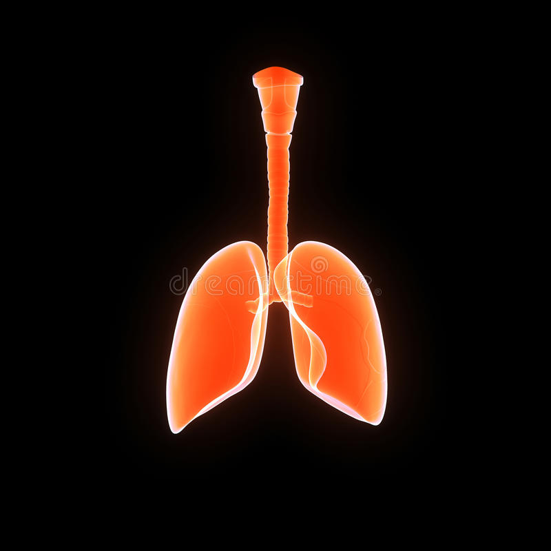Human Lungs royalty free illustration