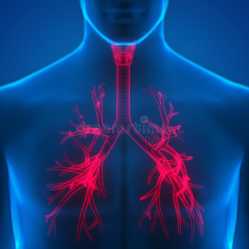 Human Lungs Inside Anatomy (Larynx, Trachea, Bronchioles) Stock ...