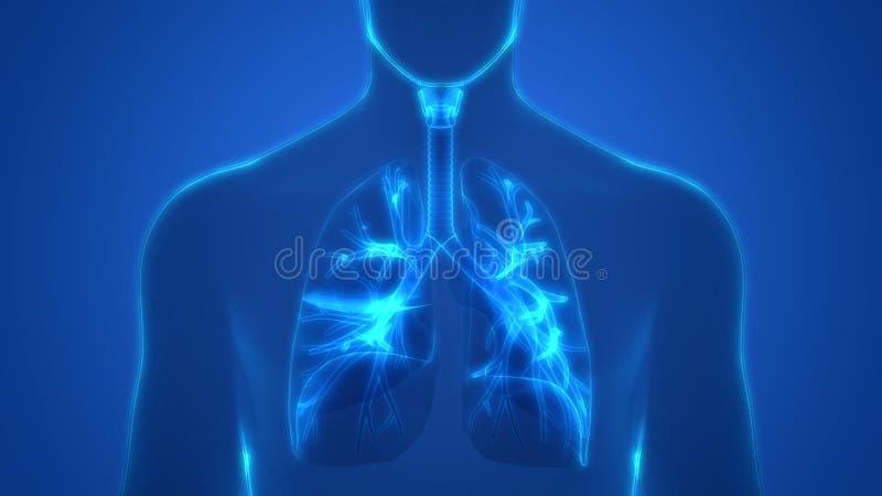Human Lungs Inside Anatomy Larynx, Trachea, Bronchioles. 3D Illustration of Human Lungs Inside Anatomy Larynx, Trachea, Bronchioles vector illustration