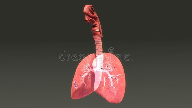 Human Lungs vector illustration
