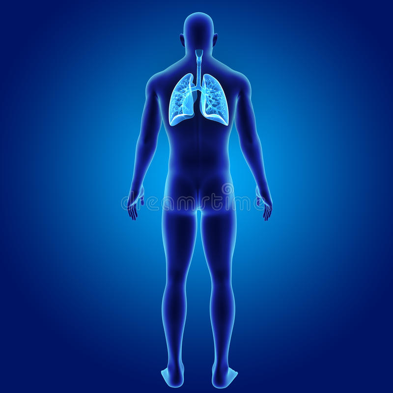 Human Lungs With Body Posterior View Stock Illustration ...