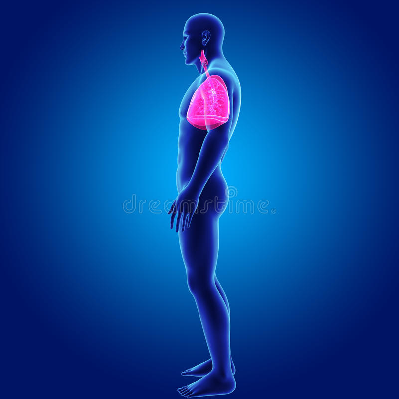 Human Lungs with Body Lateral view vector illustration