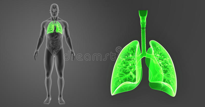 Human Lungs zoom with Organs Anterior view stock illustration