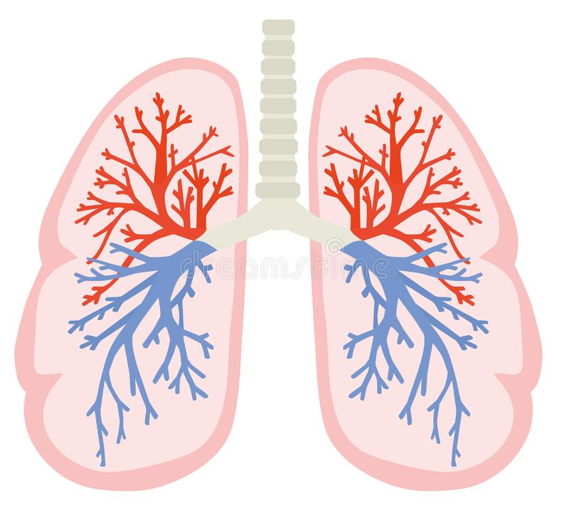 A human lungs. Part of anatomy human body model with organ system. Colorful vector illustration in flat cartoon style. stock illustration