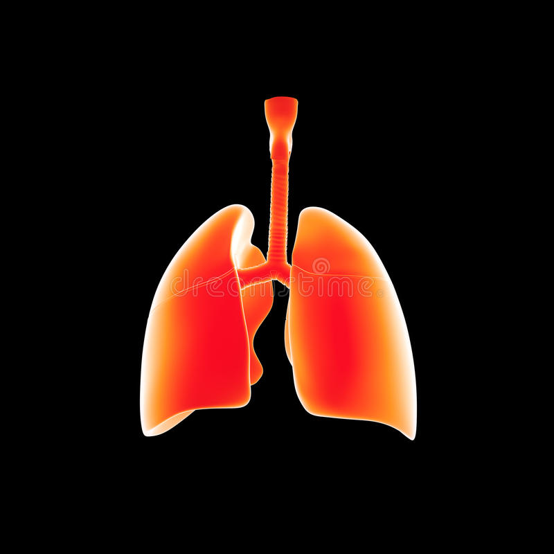 Human Lungs posterior view stock illustration