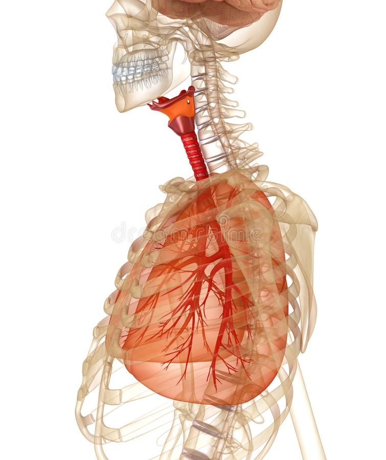 Human lungs, trachea and skeleton. Medically accurate 3D illustration. On white stock illustration