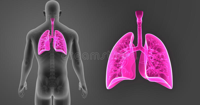 Human Lungs zoom with Skeleton Body Posterior view vector illustration