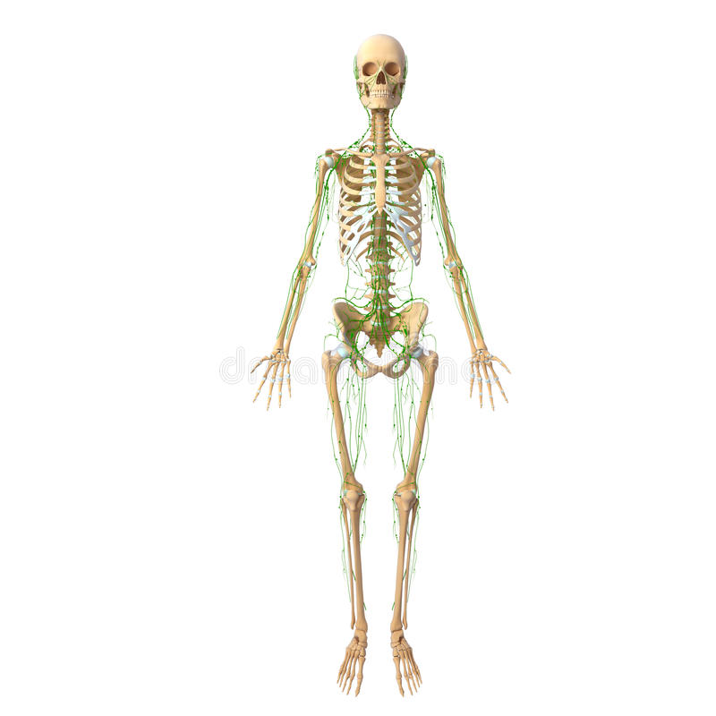 Human Lymphatic system with skeleton stock illustration