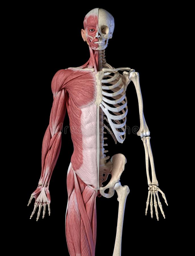 Human male anatomy, 3/4 figure muscular and skeletal systems, front view royalty free illustration