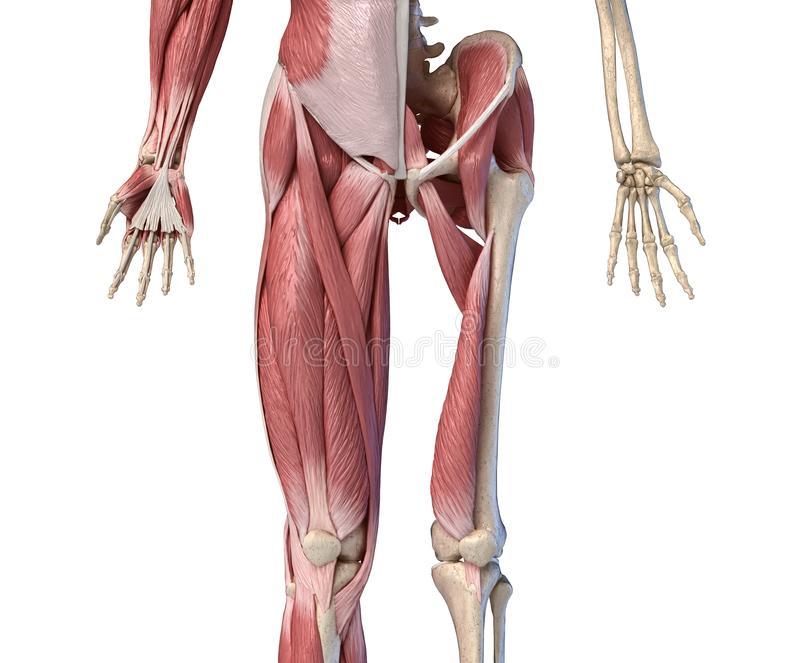 Human male anatomy, limbs and hip muscular and skeletal systems, Front view vector illustration