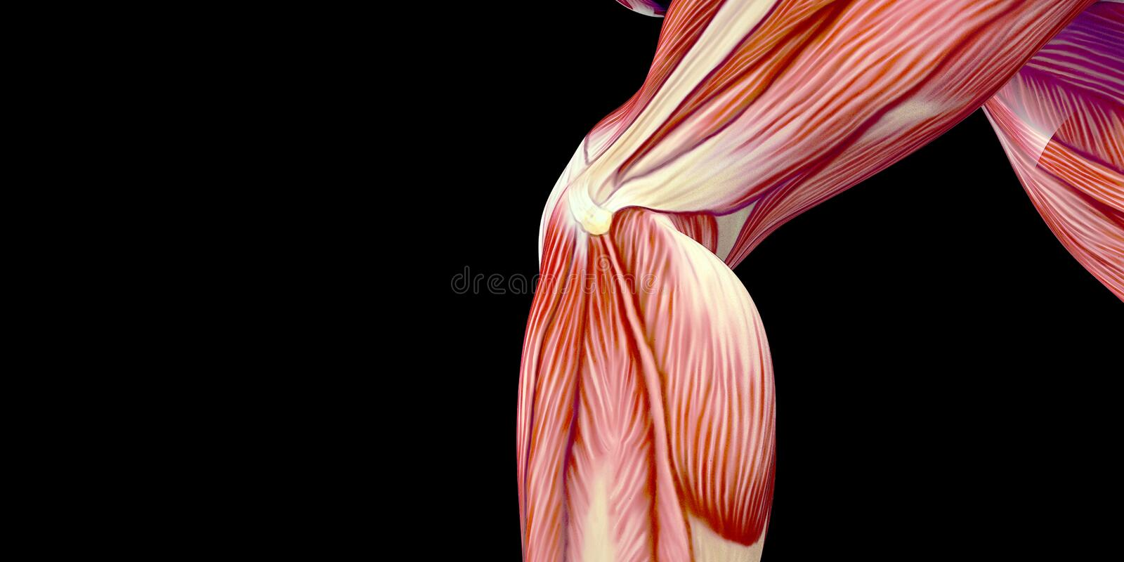 Human Male Body Anatomy Illustration Of The Human Knee Joint With