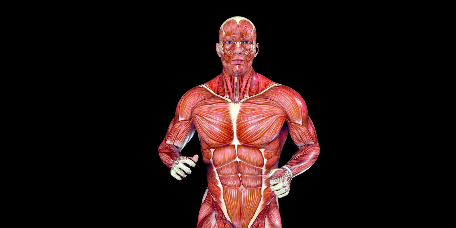 Human Male Body Anatomy Illustration of a human torso with visible muscles. Human Male Body Anatomy Illustration with visible muscles and tendons vector illustration