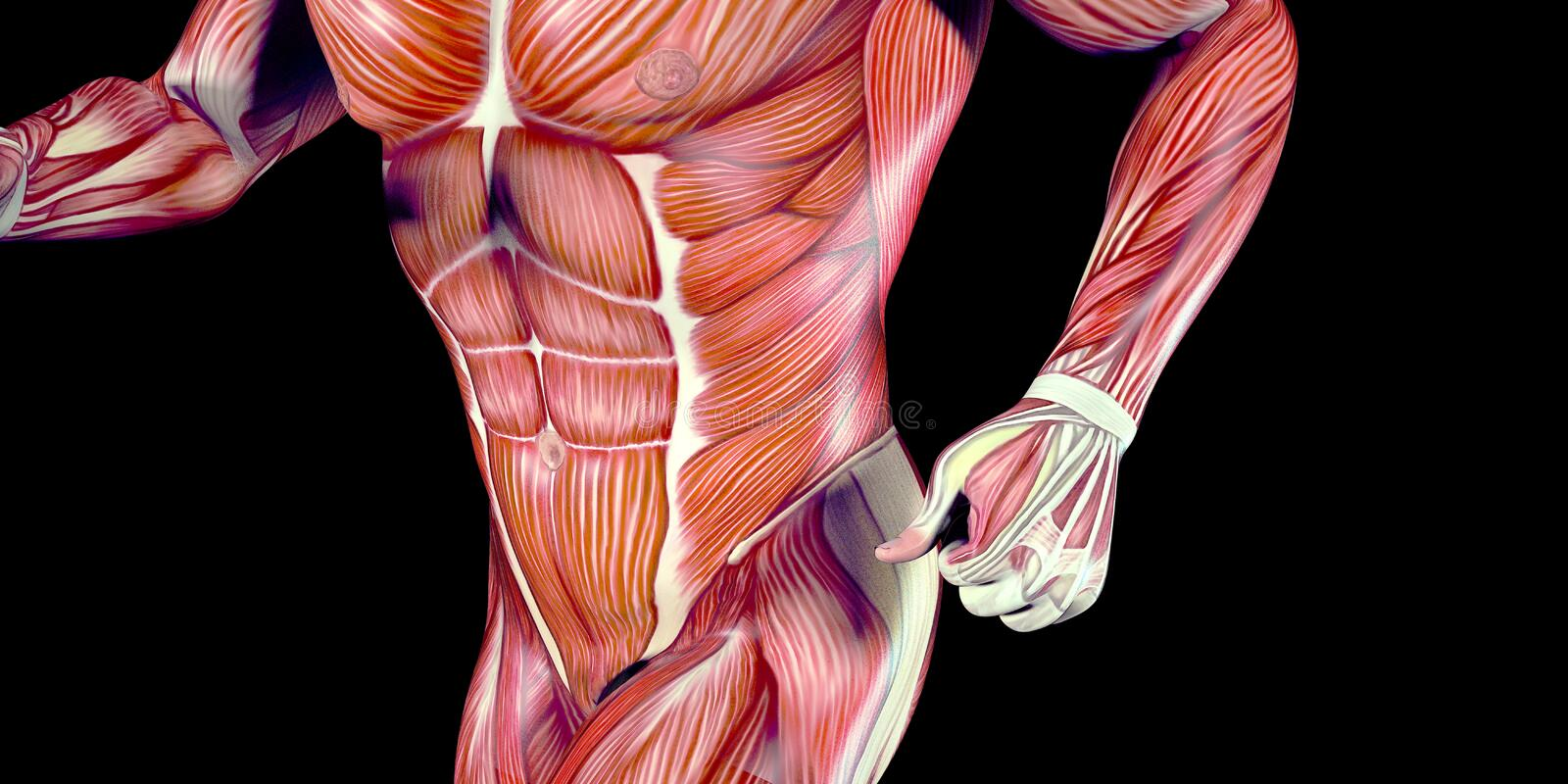 Human Male Body Anatomy Illustration With Visible Muscles Stock ...