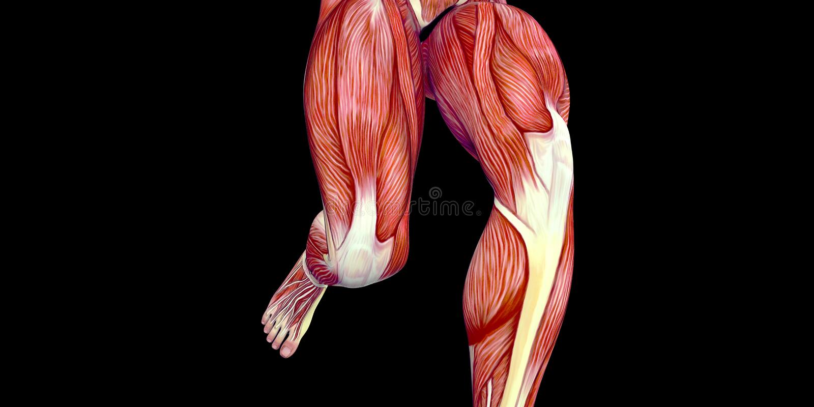 Human Male Body Anatomy Illustration With Visible Thigh Muscles And ...