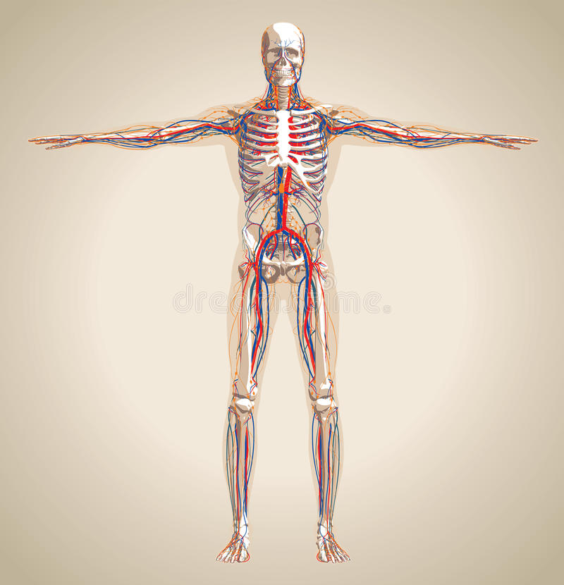 Human (male) circulation system, nervous system and lymphatic system stock illustration