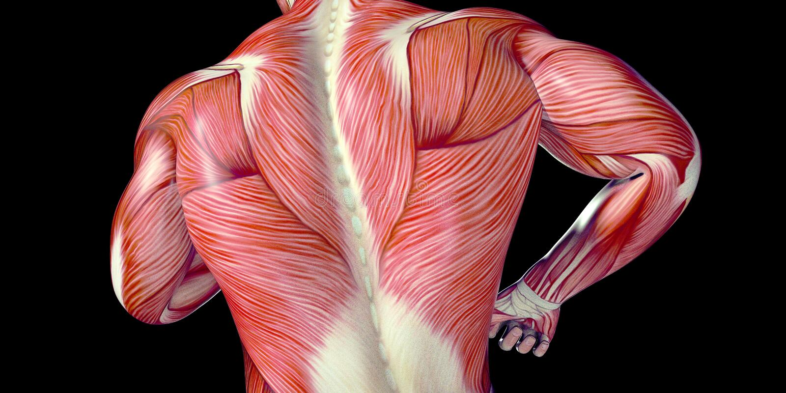 Human Male Body Anatomy Illustration of a human back with visible muscles. Human Male head Anatomy Illustration with visible muscles and tendons stock illustration
