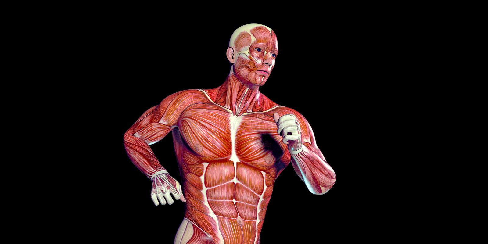 Human Male Body Anatomy Illustration of a human torso with visible muscles. Human Male head Anatomy Illustration with visible muscles and tendons stock illustration