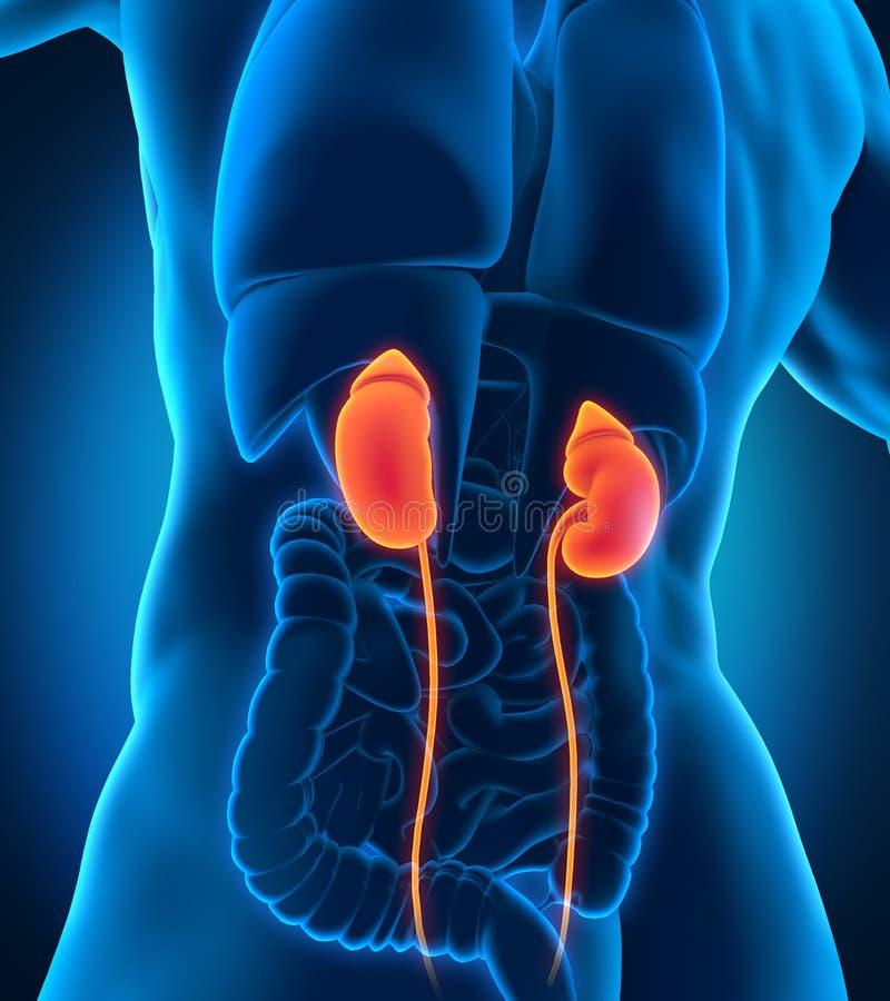 Human Male Kidneys Anatomy stock illustration