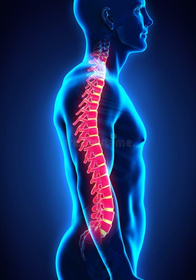 Human Male Spine Anatomy vector illustration