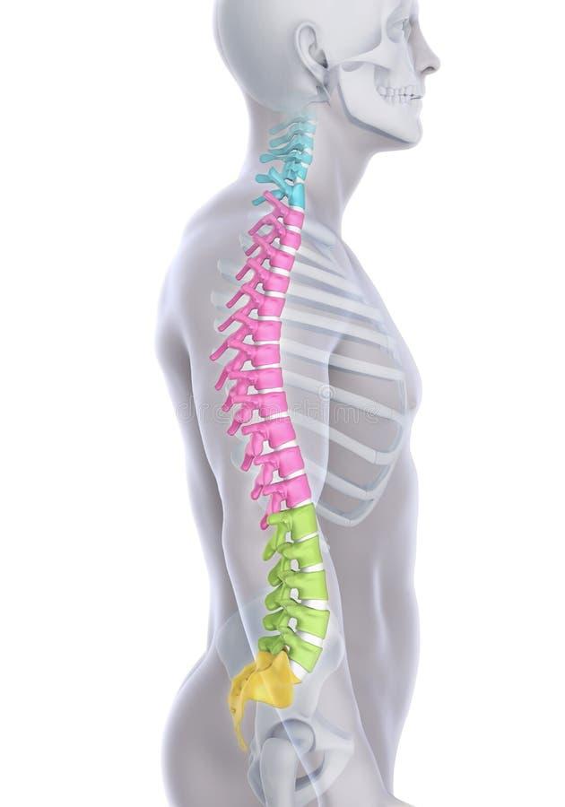 Human Male Spine Anatomy stock illustration
