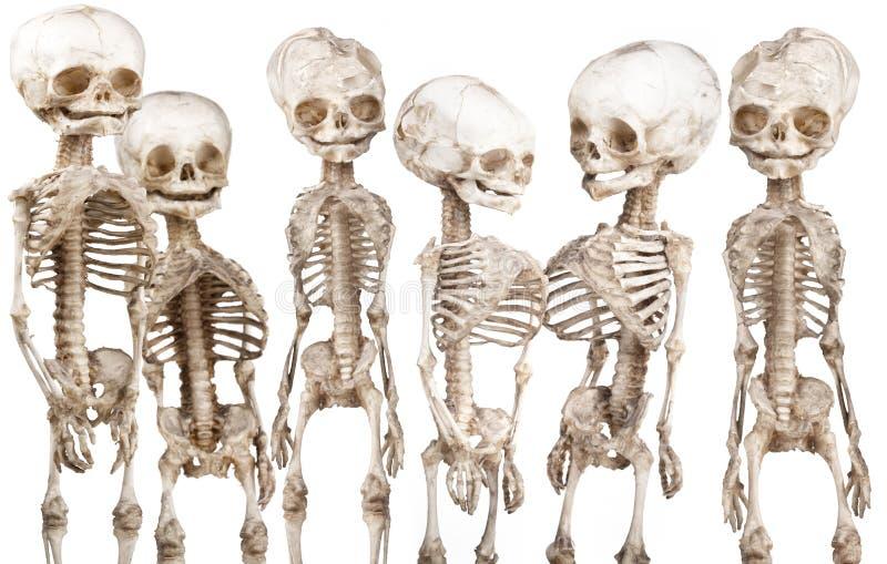 Human medical skeleton. Many children's human medical skeleton over white royalty free stock photo