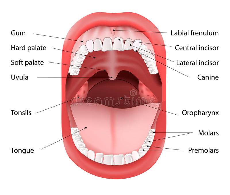 Human Mouth Anatomy Stock Vector Illustration Of Care 45101008