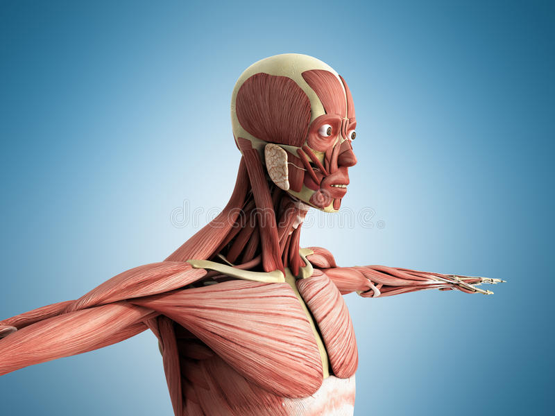Human Muscle Anatomy 3d Render On Blue Stock Illustration ...