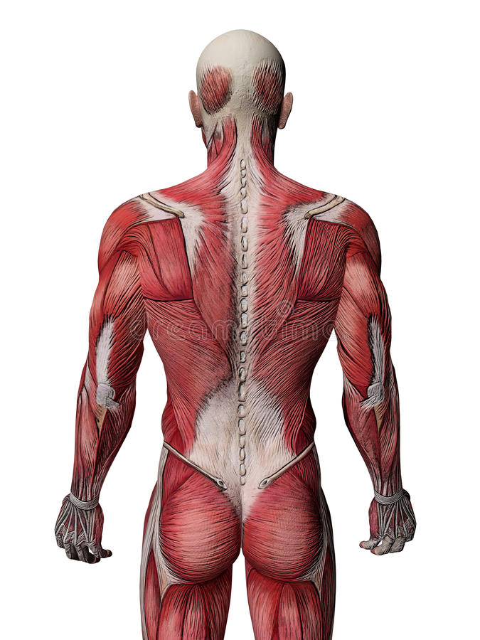 Human Muscle Xray stock illustration