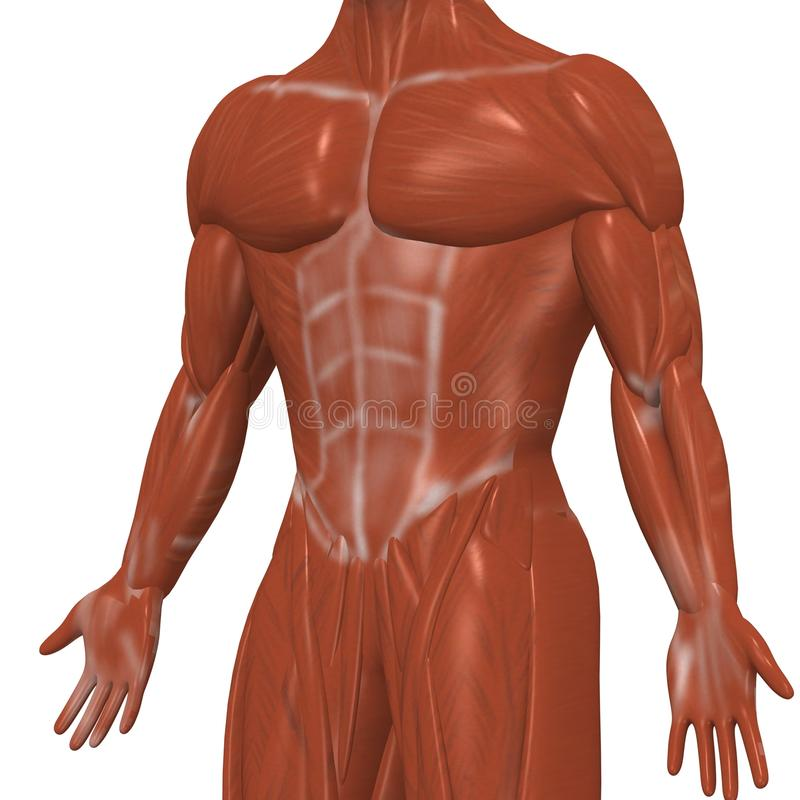 Download Human Muscles Royalty Free Stock Images - Image: 11127419