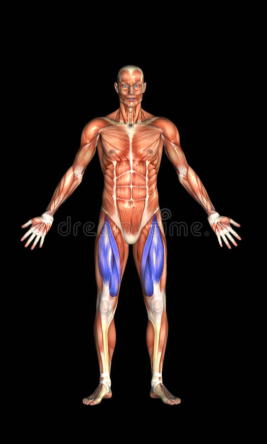 Download Human Muscles stock illustration. Image of biology, muscle - 13080883