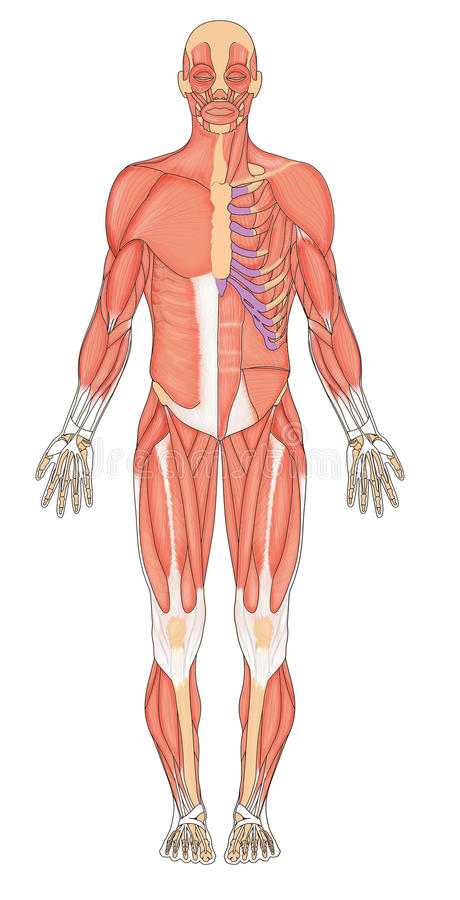 Human muscles anterior. Anterior (front) view of human male musculature vector illustration