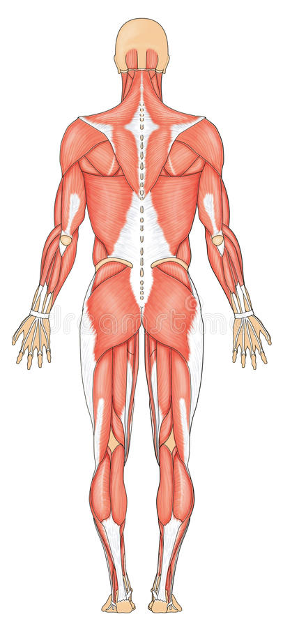 Human muscles posterior. Posterior (back) view of human male musculature vector illustration