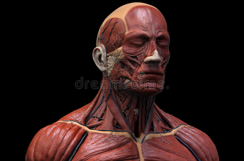 Human muscular structure royalty free illustration
