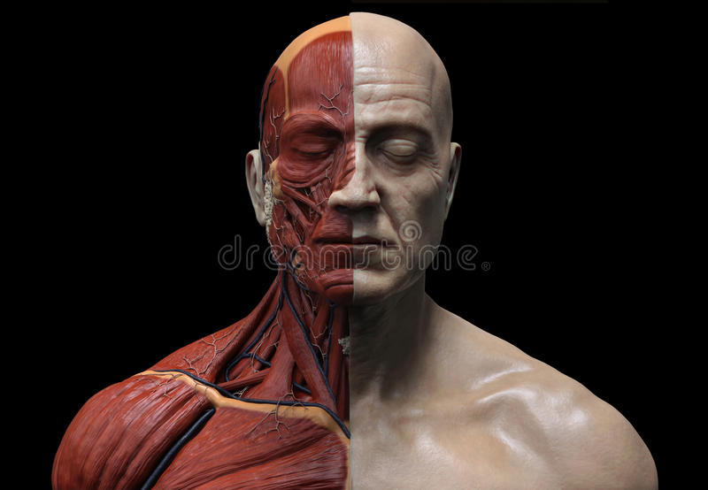 Human Anatomy - Male Muscles structure . 3D rendering  illustration. royalty free illustration