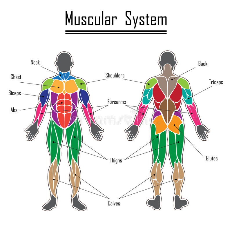 Human muscular system stock vector. Illustration of abdomen - 81942092