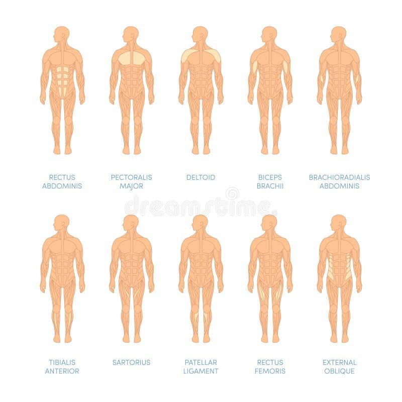 Human muscular system. Muscular system of a human. Cartoon illustration for medical atlas or educational textbook vector illustration