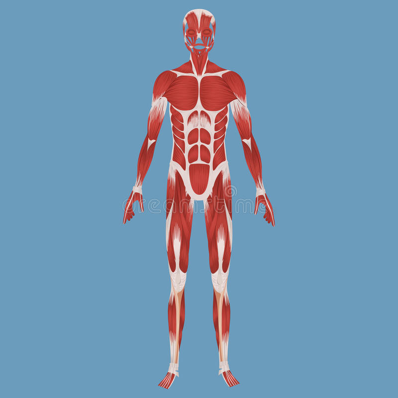 Free Human Muscular System Illustration Royalty Free Stock Photo - 92370645