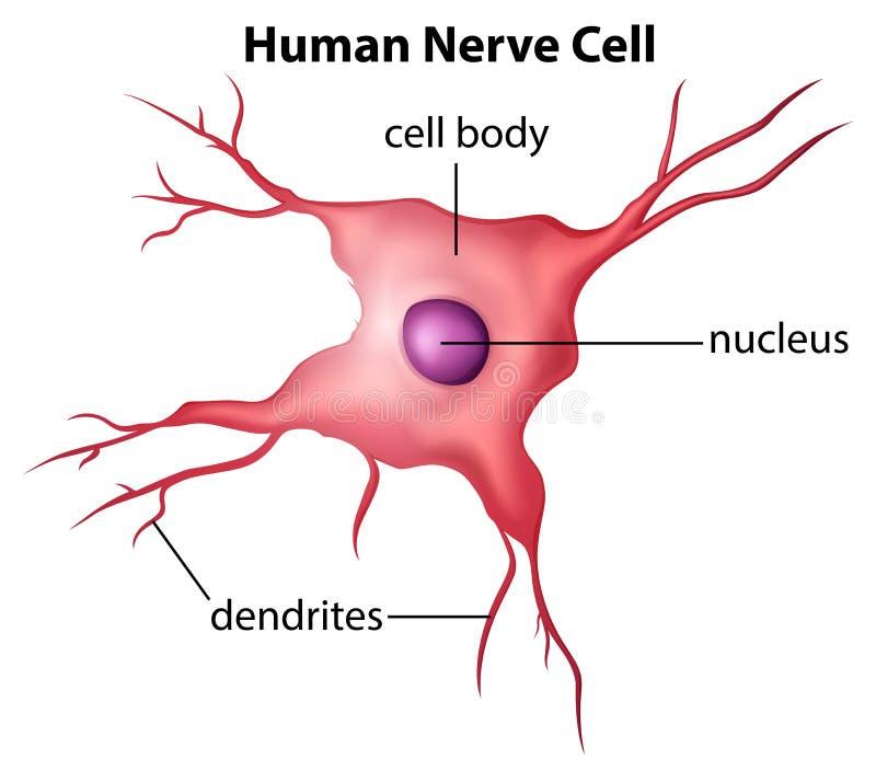 Human nerve cell vector illustration