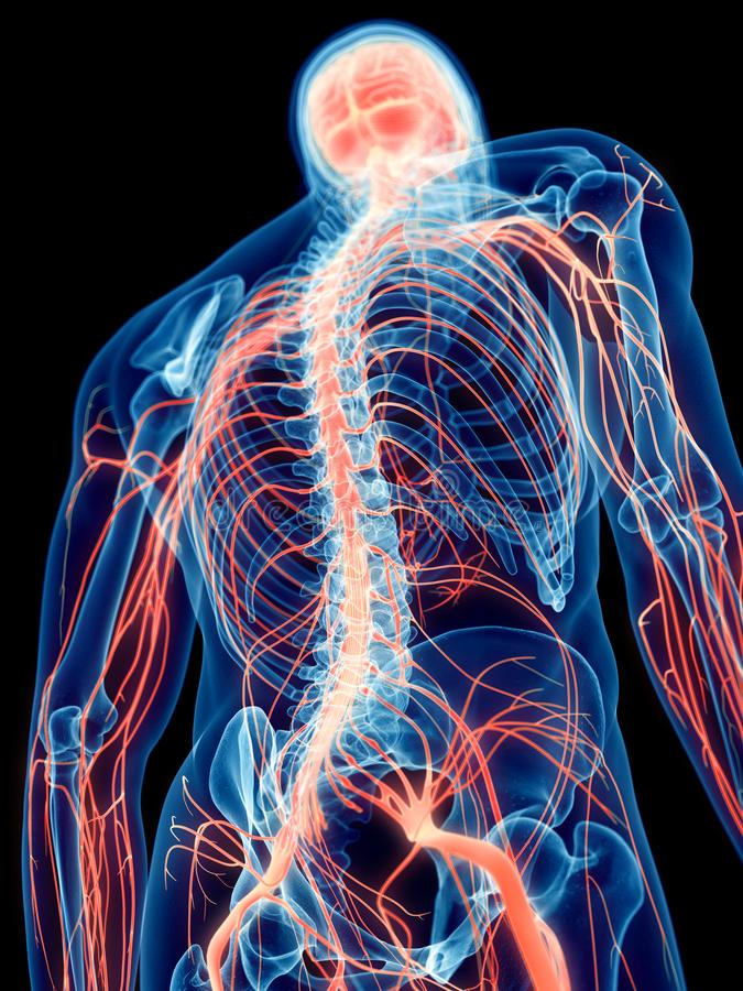 The human nerves. 3d rendered medically accurate illustration of the human nerves royalty free illustration