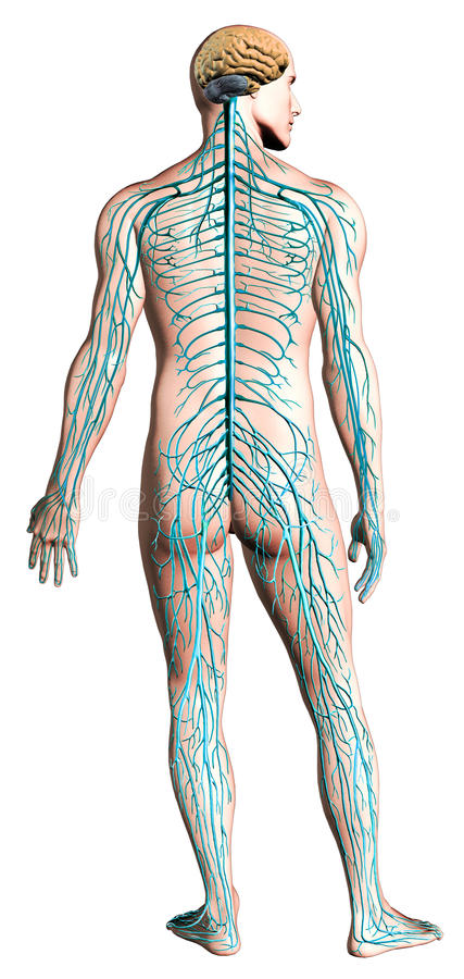 Human nervous system diagram. stock illustration
