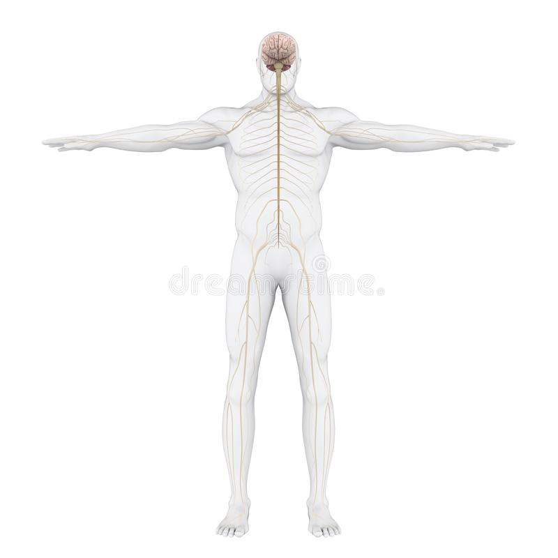Human Nervous System Illustration vector illustration
