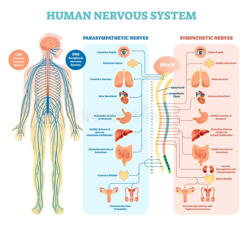 Free Human Nervous System Medical Vector Illustration Diagram With Parasympathetic And Sympathetic Nerves And Connected Inner Organs. Stock Photos - 111705553