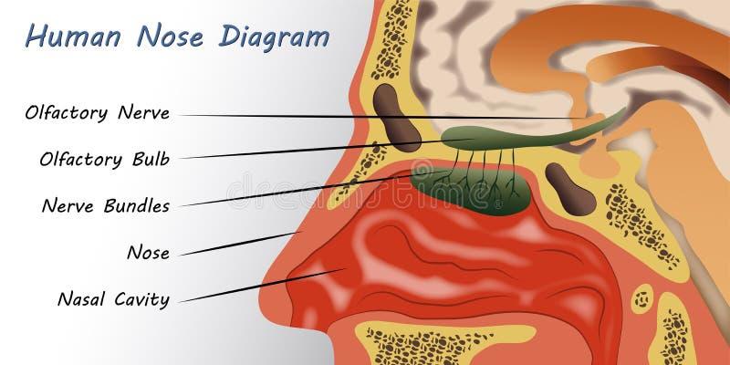 Human Nose Diagram. Illustration of a Human Nose Diagram vector illustration