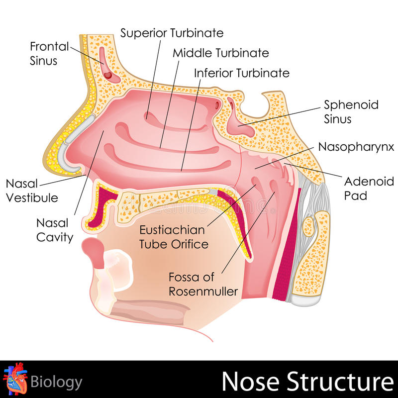 Human nose stock illustration image of fossa mouth 31606461 download human nose stock illustration image of fossa mouth 31606461 ccuart Images