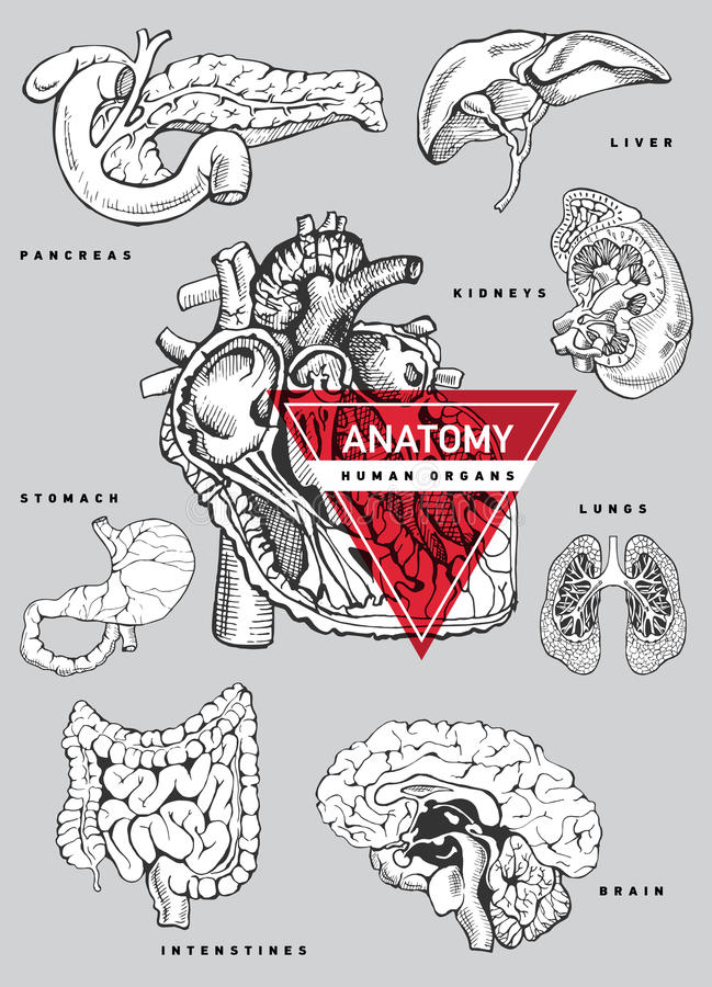 Human organ anatomy set. Hand drawing illustration for a textbook on medicine. Heart, kidney, lung, stomach, intestines, brain, liver pancreas royalty free illustration