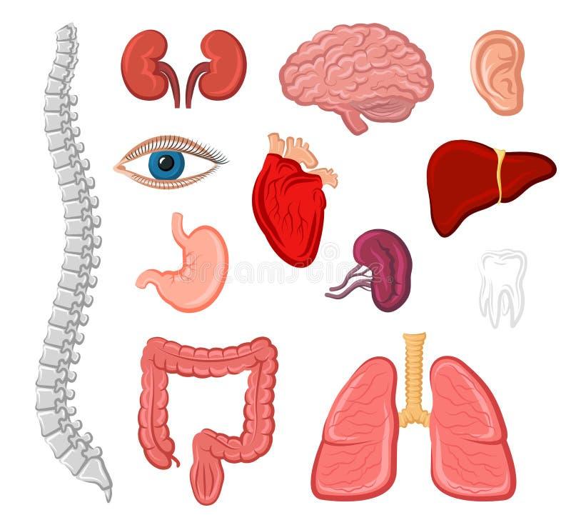 Human organ isolated icon set for anatomy design vector illustration